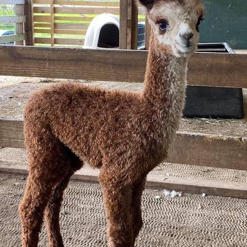 Central Hill Farm Alpacas Plus